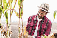 Farmer on field examining corn cob - UUF11907