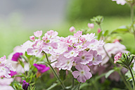 Blossoming pink Verbena - GWF05289