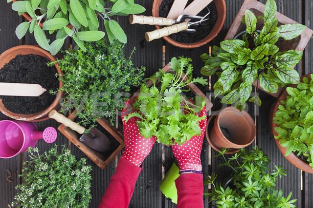 Woman's hands planting herbs on terrace - GWF05292 - Gaby Wojciech/Westend61