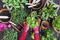 Woman's hands planting herbs on terrace - GWF05292