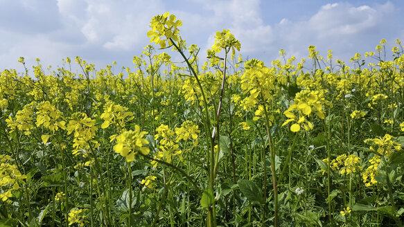 Charlock mustard - MAEF12455