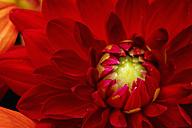 Red dahlia, close-up - CSF28372