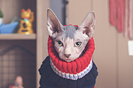 Portrait of Sphynx cat wearing pullover - RTBF01056