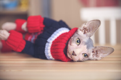 Portrait of Sphynx cat wearing pullover - RTBF01065