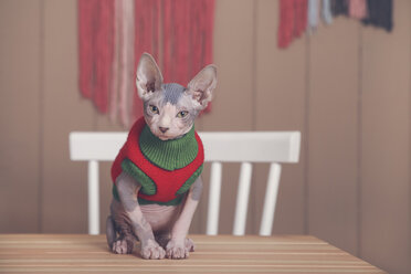 Portrait of Sphynx cat on table wearing pullover - RTBF01068