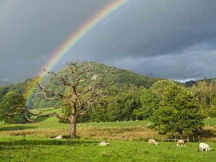 Great Britain, England, Lake District National Park, Dead tree, rainbow and sheep - STSF01319