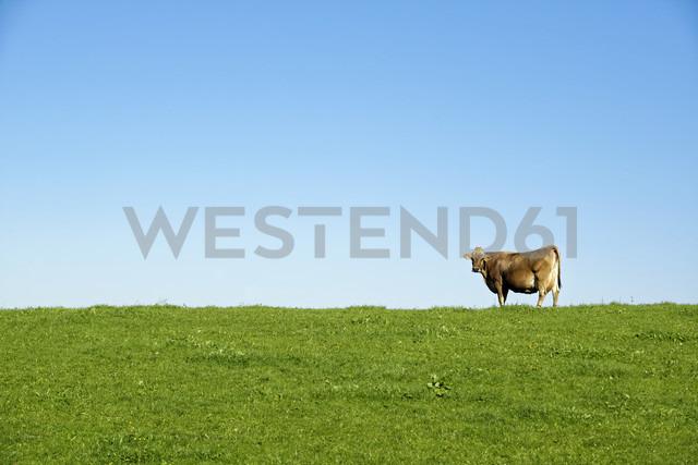 Germany, Bavaria, Allgaeu, cow on pasture - LHF00543
