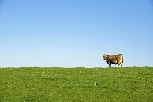Germany, Bavaria, Allgaeu, cow on pasture - LHF00543