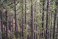 Spain, Tenerife, Corona Forestal Nature Park, Tree trunks - SIPF01815