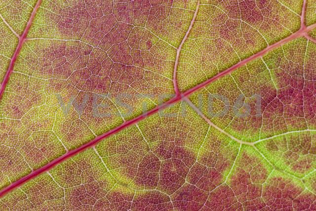 Autumn leaf - MJOF01433
