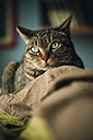 Portrait of tabby cat on couch - RAEF01943