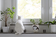 Back view of white cat sitting on window sill - CHPF00442