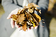 Close-up of woman holding autumn leaves - MOEF00263