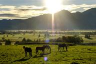 Germany, Bavaria, Upper Bavaria, sunrise above Loisachmoor, horses on meadow - LBF01697