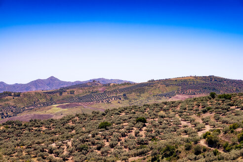 Spain, Mondron, view to olive grove from above - SMAF00854