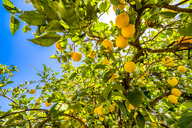 Spain, Mondron, lemon tree with fruits - SMAF00860