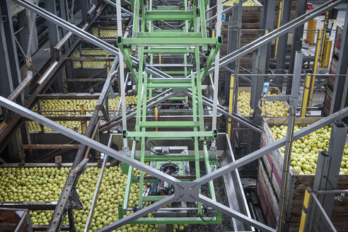 Apples in factory being packed - ZEF14681
