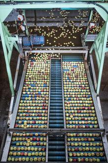 Apples in factory on conveyor belt - ZEF14684