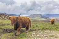 Great Britain, Scotland, Scottish Highlands, Highland Cattles - FOF09422