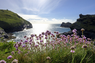 Great Britain, Cornwall, Boscastle, rocky coast, Marsh daisies - SIEF07595