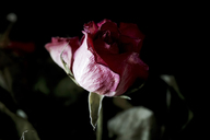 Withered pink rose against black background, close up - JTF00858