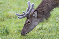 UK, Scotland, Highland, Glencoe, red deer grazing - FOF09447