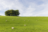 UK, Scotland, Highland, flock of sheep grazing on meadow - FOF09462