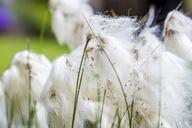 Cotton grass, close-up - PUF00896
