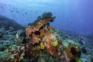 Indonesia, Bali, Nusa Lembongan, coral reef and tropical fish - ZC00563
