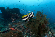 Indonesia, Bali, Nusa Lembongan, Long-finned bannerfish, Heniochus acuminatus - ZC00571