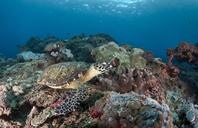 Indonesia, Bali, Nusa Lembongan, hawksbill turtle, Eretmochelys imbricata - ZC00577