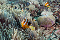 Indonesia, Bali, Nusa Lembongan, Clark's anemonefish, Amphiprion clarkii - ZC00580