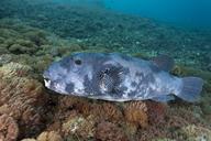 Indonesia, Bali, Nusa Lembongan, large pufferfish, Arothron multilineatus - ZC00583