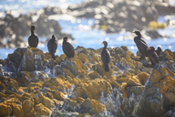 South Africa, Cape Town, Robben Island, Birds on the rocks - ZEF14851