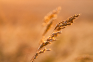 Great Britain, Scotland, East Lothian, wild grasses backlit by the sun at sunset - SMAF00872