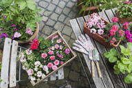 Gardening, planting of summer flowers, rosy and pink colour selection, wooden box - GWF05323
