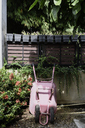 Pink wheelbarrow in the garden surrounded by plants - IGGF00228
