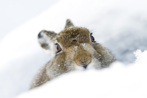 UK, Scotland, portrait of Mountain Hare in snow - MJOF01456