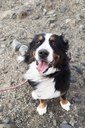 Bernese mountain dog sitting, looking at camera, outdoors - IGGF00292