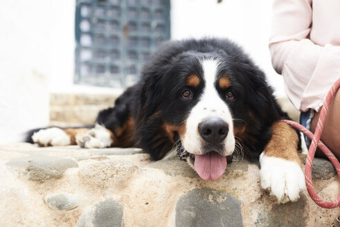 Portrait of a bernese mountain dog lying on the ground with a tired faced - IGGF00309