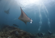 Indonesia, Bali, Nusa Lembongan, Reef manta ray and divers - ZCF00594