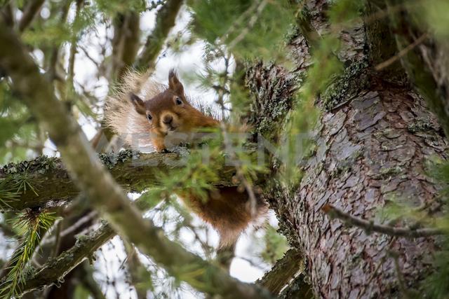 Scotland, red squirrel, Sciurus vulgaris - SMAF00908