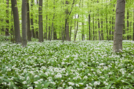Germany, North Rhine-Westaphalia, Eifel, wild garlic blossom in beech forest - GWF05375