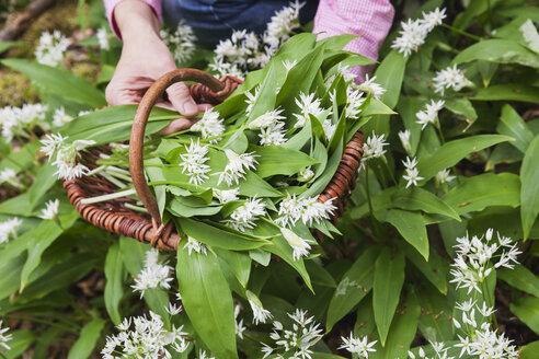 Germany, North Rhine-Westphalia, Eifel, wild garlic, Allium Ursinum, in wicker basket - GWF05378