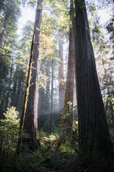 USA, California, Crescent City, Jedediah Smith Redwood State Park, Redwood trees - STCF00380