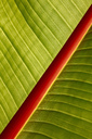 Macro of banana leaf - JTF00877