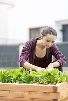 Young woman harvesting salad in garden - MMAF00228