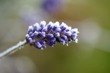 Lavender blossom  frost-covered in winter - LBF01709