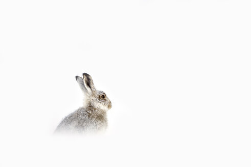 UK, Scotland, portrait of Mountain Hare in snow - MJOF01462