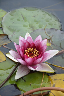 Pink water lily, Nymphaea Alba - AXF00803